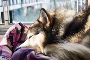 Orthopedic Dog Bed with Bolster sleeping dog