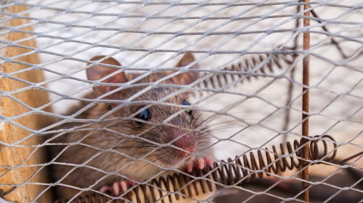 Best Mouse Traps for a Kitchen